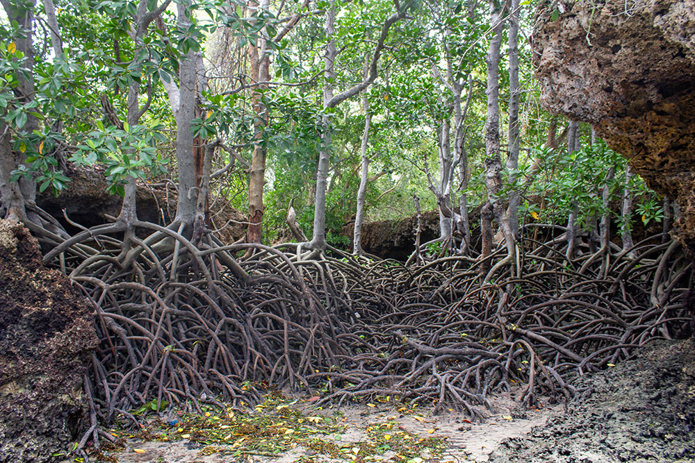 Part of the mangrove forest at Chale Island