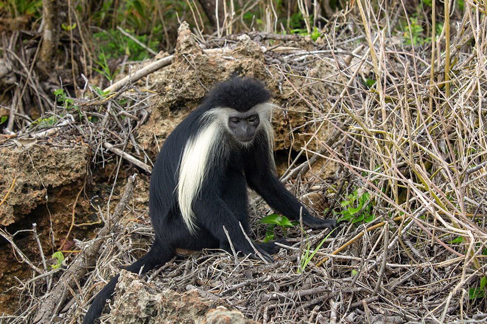 A Colobus monkey enjoying some rest at Chale Island